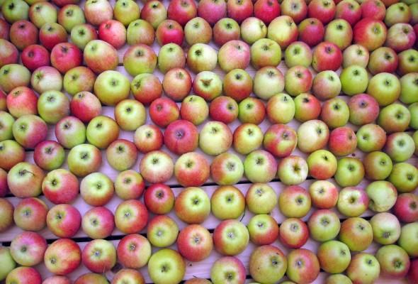 Rawfoodkakor med äpplen och russin.